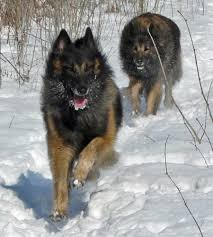 belgian sheepdog vs belgian shepherd 63 best future fur babies images on pinterest animals belgian