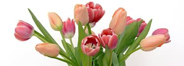 tulips flowers all about tulips varieties flower forms how to plant easy to