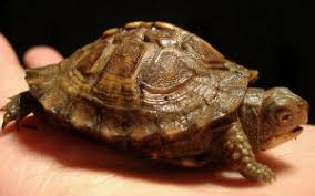 buying a box turtle box turtles