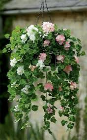 Best Plants For Hanging Baskets by Best 25 Hanging Basket Plants Ideas On Pinterest Hanging Basket
