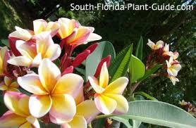 plumeria flowers frangipani tree