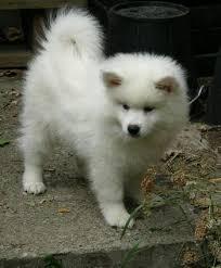 american eskimo dog price in india 117 best american eskimo dog images on pinterest american eskimo