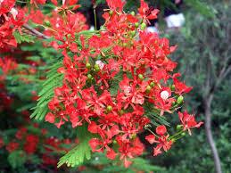 ephedra plant wikipedia neotropical plant portal flash cards