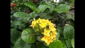 beautiful yellow ixora flowers plant garden in sri lanka village
