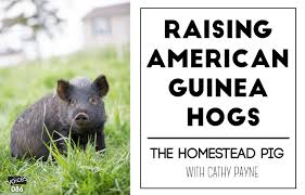 raising american guinea hogs u2013 the homestead pig with cathy payne