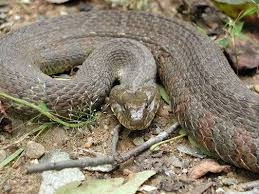 Found A Snake In My Backyard Snakes Of Pennsylvania 21 Species 3 Of Them Venomous Pennlive Com