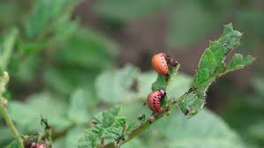red larva of the colorado potato beetle bug is eating potato plant
