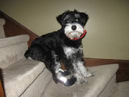 affenpinscher qualities personality and character traits schnauzer savvy