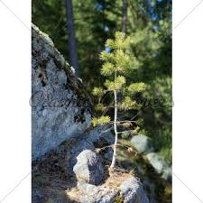 small pine tree gl stock images