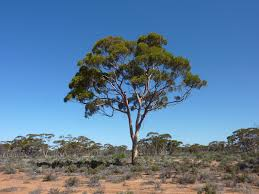 australian native plants guide identifying eucalypts made easy csiro
