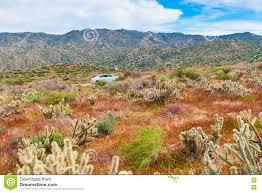 desert wildflowers and cactus in bloom in anza borrego desert c