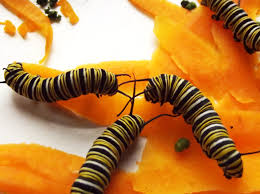 caring for your monarch caterpillars frame it all blog