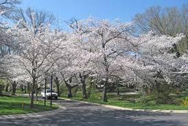 blight killing branches on flowering cherry trees homestead