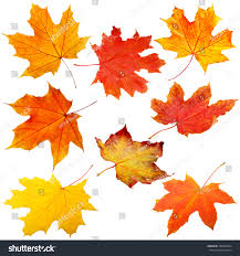 collection autumn leaves on white background stock photo 520409554