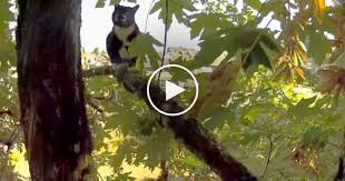 yelping gets stuck in 50 foot tree just this daring