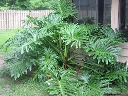 tree philodendron philodendron selloum leaves plants and