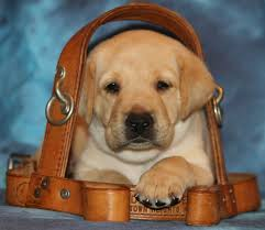 Pictures Of Blind Dogs What It Takes To Be A Guide Dog This Dog U0027s Life Dog Community