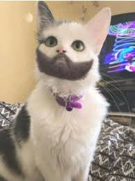Mustache Cat Meme - cat with beard and mustache album on imgur