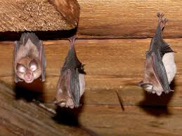 accommodating bats in buildings bat conservation trust
