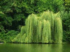 weeping willow tree facts willow tree weeping willow and gardens