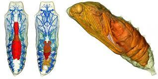 see inside a butterfly chrysalis neatorama