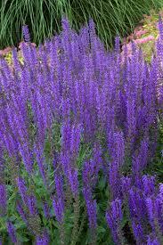 Salvia Flower May Night Sage Monrovia May Night Sage