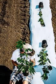 Weed Map Colorado by Has Pot Lost Its Buzz In Colorado