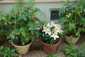 vegetable container garden images images plant u0026 flower stock