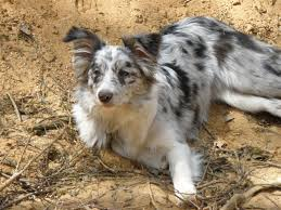 t r australian shepherds free images puppy cute border collie vertebrate lying dog
