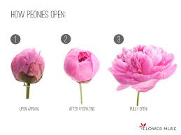 where to buy peonies how peonies are shipped flower muse
