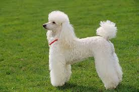 afghan hound harga miniature poodle dogs and puppies for sale in the uk pets4homes