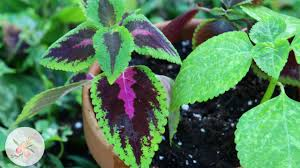 how to propagate coleus from cuttings ornamental cut flower
