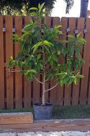 Fragrant Plants Florida - michelia alba in south florida