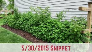 how to start growing raspberries 5 30 15 snippet youtube
