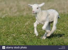 meadow merino sheep lamb run mammal benefit animal sheep