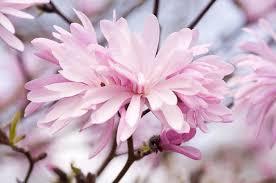 Fragrant Flowers Magnolia Stellata U0027jane Platt U0027 Star Magnolia