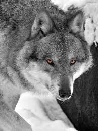 image pale gray wolf jpg wolves of the beyond wiki fandom