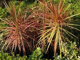 Dracaena Marginata Dracaena Marginata Red Edge Dracaena Madagascar Dragon T U2026 Flickr