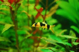 freshwater fish freshwater fish freshwater aquarium talk