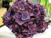 Purple Hydrangea Hydrangea U2013 Allure Farms