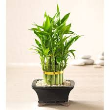 the best housewarming gifts the basics of gifting lucky bamboo plant u2013 info woolf u2013 medium