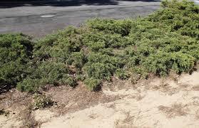 california native drought tolerant plants fire station ca native plant garden update