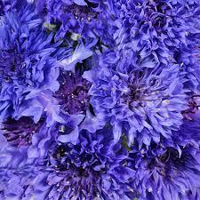 purple and blue flowers cornflowers