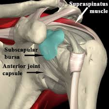 Subscapularis And Supraspinatus Advanced Anatomy The Shoulder Girdle Page 3
