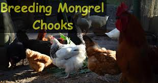 youtube best chicken breeds with backyard chickens how to pick