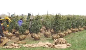 balled u0026 burlapped b u0026b nursery stock michigan grown evergreens