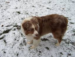 playing with australian shepherd 76 best adopted aussies images on pinterest illinois aussies