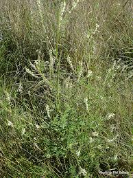 Sweet Flag Herb T E R R A I N Taranaki Educational Resource Research Analysis