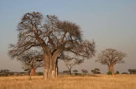 Tropical Savanna Dominant Plants - savanna biome by alyssa phan on prezi