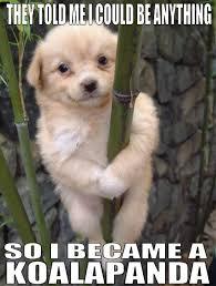 Angry Koala Meme - scary koala meme